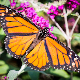 Butterfly on a Flower II by Shawn Klawitter - Animals Insects & Spiders ( butterfly, animals, nature, outdoors )