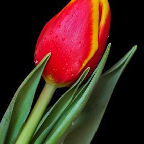 Tulip by Irena Gedgaudiene - Flowers Flower Buds (  )
