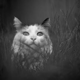 Hiding in grass by Argun Tekant - Animals - Cats Portraits ( cat, b&w, grass, portrait, eyes,  )