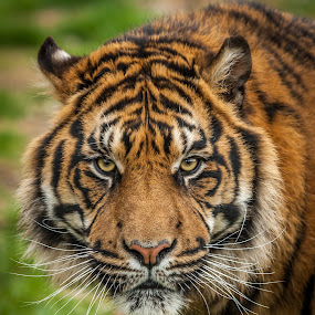 Tiger by Darren Whiteley - Animals Lions, Tigers & Big Cats ( big cat, face, tiger, stripes, eyes,  )