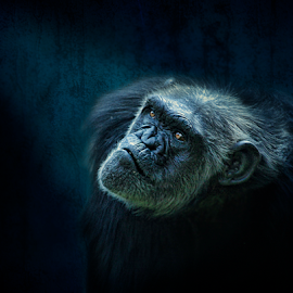 Contemplation by Esteban Rios - Animals Other Mammals ( chimpanzee, ape, blue, light )