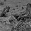 Blue Spotted Mudskipper