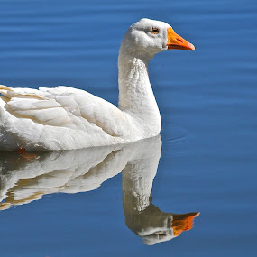 Reflections by Roy Walter - Animals Birds ( bird, water, wings, white, geese, animal )
