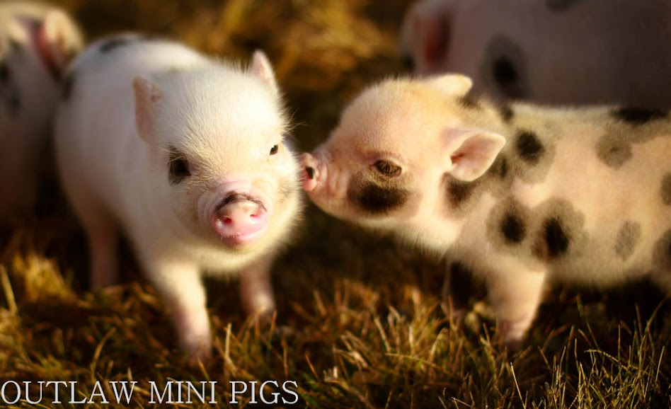 Outlaw mini pigs home all rights for the images reserved to outlaw mini pigs pictures are not to be copied or used with out permission mini pigspocket pigs seattle voltagebd Choice Image