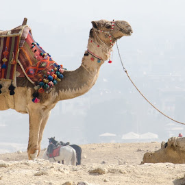 Digital Camel by Russ Hanson-Coles - Animals Other Mammals