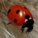 Ladybug - Live Wallpaper icon