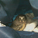 Juvenile Northern Saw-Whet Owl