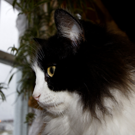Dreaming by Lloyd Alexander - Animals - Cats Portraits ( look, cat, lloyd alexander, window, stare )