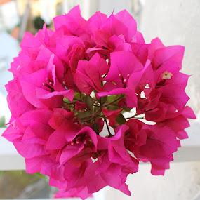 Bougainvillea by Bozica Trnka - Flowers Flower Buds ( bougainvillea, flower,  )