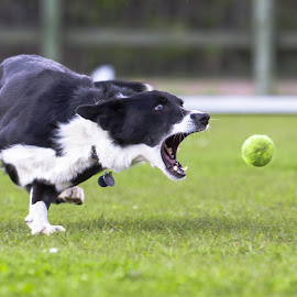 Gonna catch it.... by Del Waghorn - Animals - Dogs Playing ( collie, catching ball )