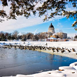 Back In Session by Bob Grandpre - News & Events Politics ( water, capitol lake, winter, state capiotol, snow, canadian geese, south dakota, geese,  )