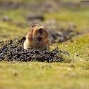 Big-headed Mole Rat