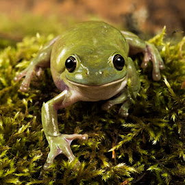 by Lisa Coletto - Animals Amphibians ( animals, frog, amphibian, reptile )