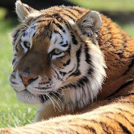 Tiger by Ralph Harvey - Animals Lions, Tigers & Big Cats ( animal., tiger, wildlife, ralph harvey, marwell zoo )