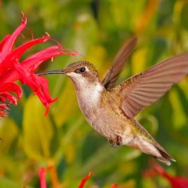 Female Ruby - throated hummingbird  by Paul Wyman - Animals Birds ( bird, red, nature, green, hummingbird, flowers )