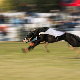 dog race by Prabhjit S Kalsi - Animals - Dogs Running ( panning, dogs, sports, chase, running, race, animal )