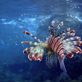 graceful hunter  by Kobus Marais - Animals Fish ( hunter, underwater, lionfish, seychelles )