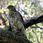 (Juvenile) Cooper's Hawk
