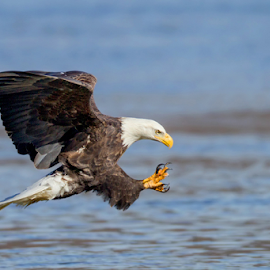 Wild Bald Eagle by Herb Houghton - Animals Birds ( herbhoughton.com )