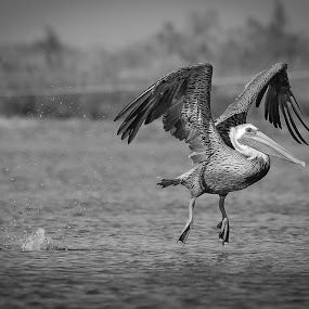 Landing Gear Activated by Jared Lantzman - Black & White Animals ( bird, birds,  )