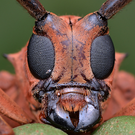 Longhorn Beetle by Simon Shim - Animals Insects & Spiders ( macro, compound eyes, longhorn beetle, face to face, insects, beetle, eyes )