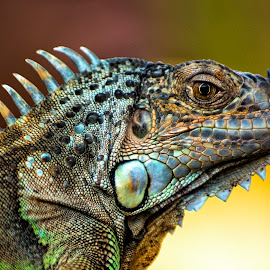 Iguana by Amril Nuryan - Animals Reptiles ( reptiles, iguana, animal )