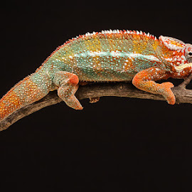 by Nigel Atkins - Animals Reptiles