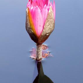 Pink Lotus by Ian McAdie - Flowers Single Flower ( plant, water, reflection, lotus, flora, pink, stem, leaf, floral, flower,  )