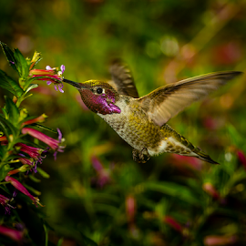 Anna's Hummingbird 2540 by Ken Wade - Animals Birds ( cuphea ignea, calypte anna, anna's hummingbird, cigar plant,  )