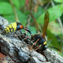 Great Potter Wasp