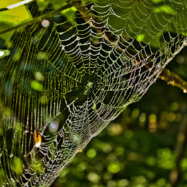 Web 2 by Sri Harismaran Dutta - Nature Up Close Webs ( water drops, green, web )
