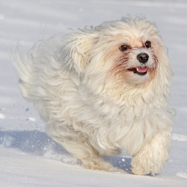 Happiness by Mia Ikonen - Animals - Dogs Running ( havanese, happy, action, finland, expressive )