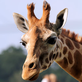 Giraffe by Ralph Harvey - Animals Other Mammals ( giraffe, wildlife, ralph harvey, marwell zoo, animal )