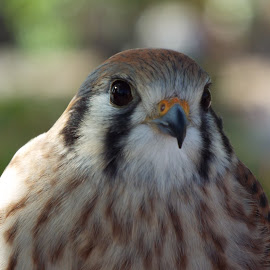 Kestrel  by Donna Probasco - Novices Only Wildlife (  )