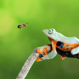 believe you can fly by Andri Priyadi - Animals Amphibians ( macro, bee, frog, indonesia, nikkor, nikon, insects, insect, animal )