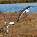 Lesser Black-backed Gull; Gaviota Sombría
