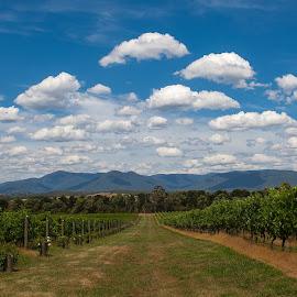 Yarra Valley Scenery-Australia by Wim Swyzen - Landscapes Prairies, Meadows & Fields ( chandon vineyard, rolling hills, blue sky, australia, cloud, vinyard, cloud formation, victoria, yarra valley, scenery, landscapes, chandon )