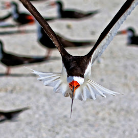 Attack of the black skimmer by Sandy Scott - Animals Birds ( shore birds, black skimmer, skimmer in flight, water birds, skimmer, birds, wading birds,  )