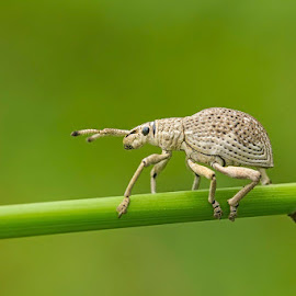 weefel bug by Made Agus Bsp - Animals Insects & Spiders