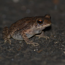 Common Indian Toad by Ratnakar Patil - Animals Amphibians