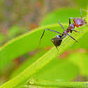 Large Purple Meat Ant