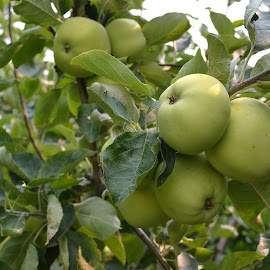 nice crop of apples this year! by Erin Melville - Nature Up Close Gardens & Produce (  )
