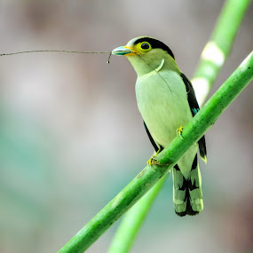 Silver Breasted Broadbill by Kuppusamy Ramesh - Animals Birds