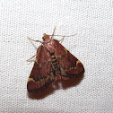 Red-shawled Moth