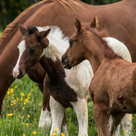 Talking it over by James  Adkins - Animals Horses ( paint colts, 2 colts, horse, horse babies, 2 colts in pasture,  )