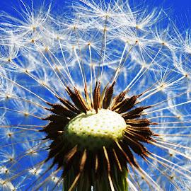 Dandelion by Petra Cvetko - Nature Up Close Other plants ( nature, dandelion, blue, weed, plants, close up,  )