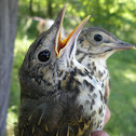 Song Thrush (juvenile)
