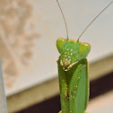 Australian Green Mantis (male)