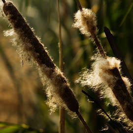 Gone with the wind by Minakshi Sur - Nature Up Close Leaves & Grasses ( wild, grass, wildflower, cottony, india )