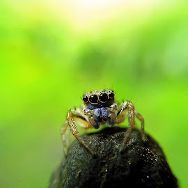 small jumping spider by Hendrata Yoga Surya - Instagram & Mobile Android